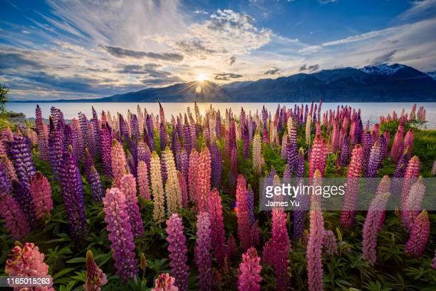 lake pukaki lupins - alpes do sul da nova zelândia - fotografias e filmes do acervo