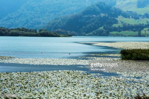 lake shore in nature, schwanau, switzerland - schwyz stock pictures, royalty-free photos & images