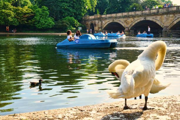 lake swan ducks daytime