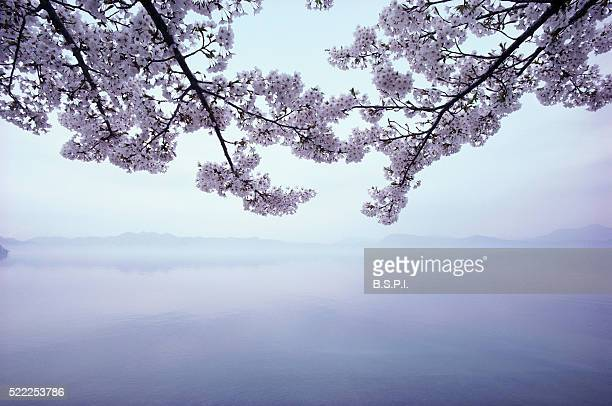 Lake Tazawa and Cherry Blossoms