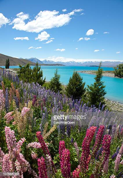 Lake Tekapo on December 12, 2010 in Aoraki / Mount Cook National Park, South Island New Zealand. Mt. Cook is, with an altitude of 3755 m the highest...