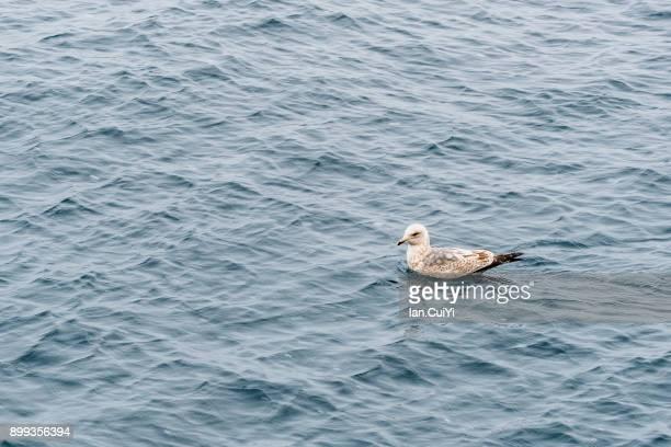 lake toya , hokkaido , japan (water bird) - 海洋性の鳥 ストックフォトと画像