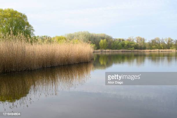 lake with reed in spring in a lake. berlin. germany. - flussufer stock-fotos und bilder