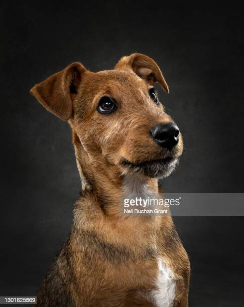 lakeland terrier puppy - animal head stock pictures, royalty-free photos & images