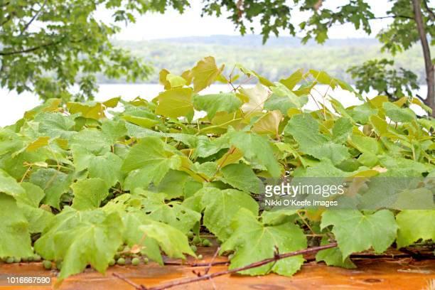 Lakeside Grapevines