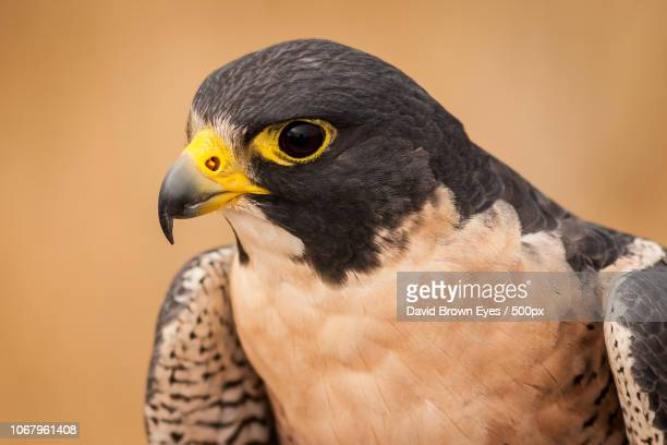 lakewood, united states - peregrine falcon stock pictures, royalty-free photos & images