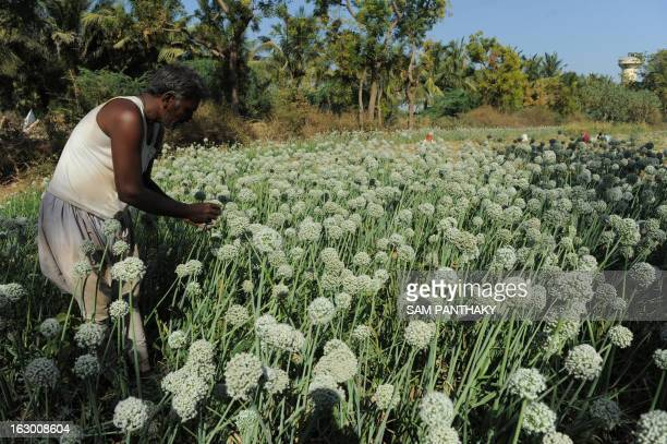 Lakhabhai an Indian farmer checks seeding onion plants as Indian villagers and environmentalists hold a protest meeting against The National Green...