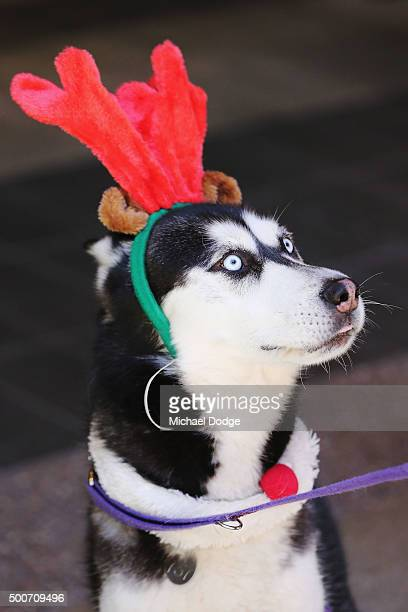 Laki the four years old Siberian Husky Mix Male poses at QV Square during the Festive Best Dressed Dog Competition for The Lost Dogs' Home charity...