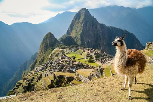 Lama And Machu Picchu 479900992