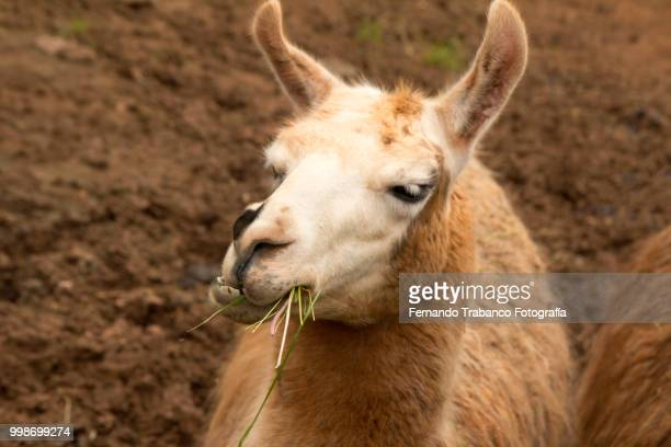 Lama eating grass