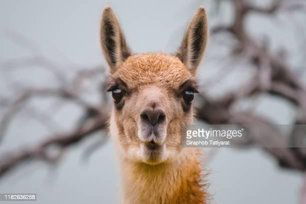 lama guanicoe/guanacos/tores del paine - llama animal fotografías e imágenes de stock