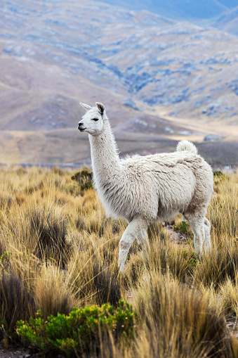 lama in a pasture in the mountains 1069953232