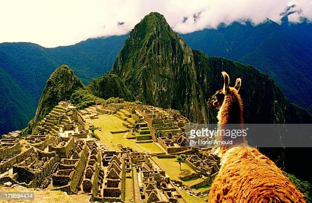 lama in front of macchupichu, peru - llama animal fotografías e imágenes de stock