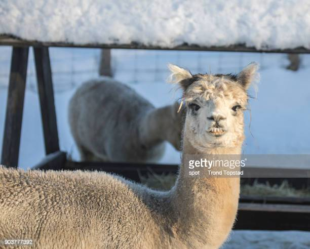 Lama in the snow