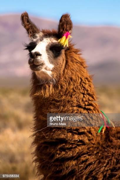 lama portrait - atacama desert - llama animal fotografías e imágenes de stock