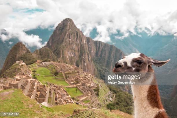 lama selfie - lama photos et images de collection