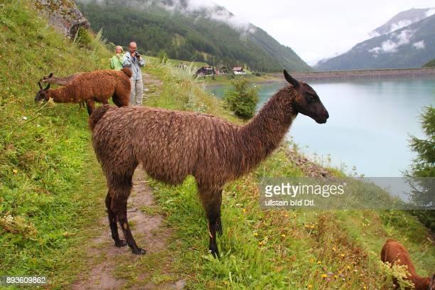 Lamas am VernagtStausee Schnals im Schnalstal Urlaub Sommer Italien Italienische Republik italienisch Repubblica Italiana Italia / Suedtirol