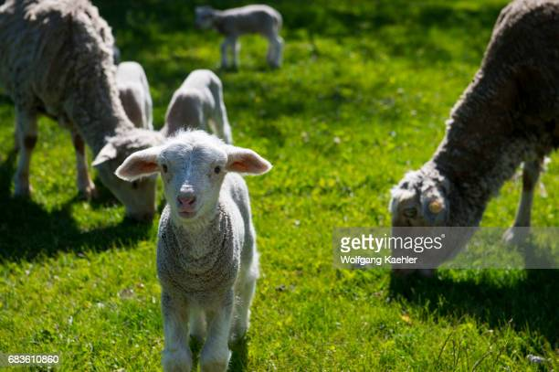 A lamb at the Estancia Hotel Kau Yatun in El Calafate Argentina