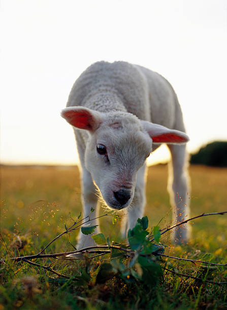 A lamb at the setting of the sun Sweden.