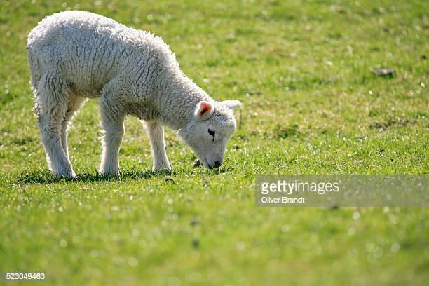 Lamb, domestic sheep -Ovis orientalis aries- grazing on an embankment on the Elbe River, conservation and maintenance of embankments, Naturschutzgebiet Haseldorfer Binnenelbe nature reserve, Haseldorfer Marsch marshland, Elbmarschland, Haseldorf, district