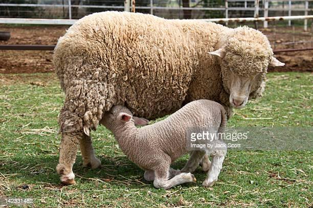 Lamb drinking milk