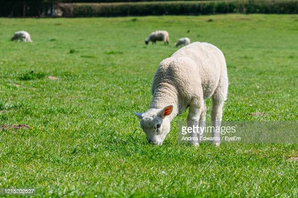 lamb eating grass in a meadow - 草を食む ストックフォトと画像