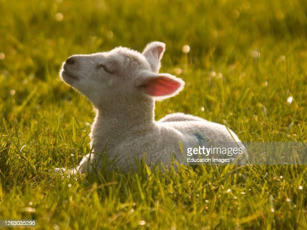 Lamb enjoying the evening sunshine, UK.