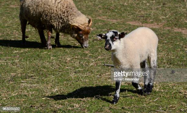 A lamb grazes in a sheep pen at Mount Vernon the plantation owned by George Washington the first President of the United States in Fairfax County...