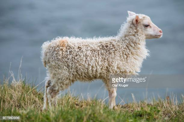 lamb (ovis), hafnarnes, eastfjords, iceland - austurland stock pictures, royalty-free photos & images