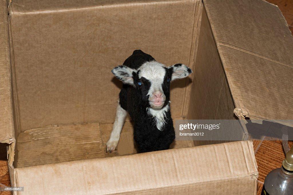 Carneiro numa caixa : Foto de stock