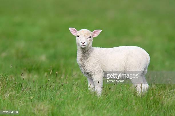 lamb in field - 子羊 ストックフォトと画像