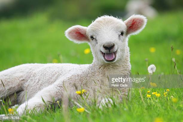 lamb in field with buttercups - animal stock pictures, royalty-free photos & images