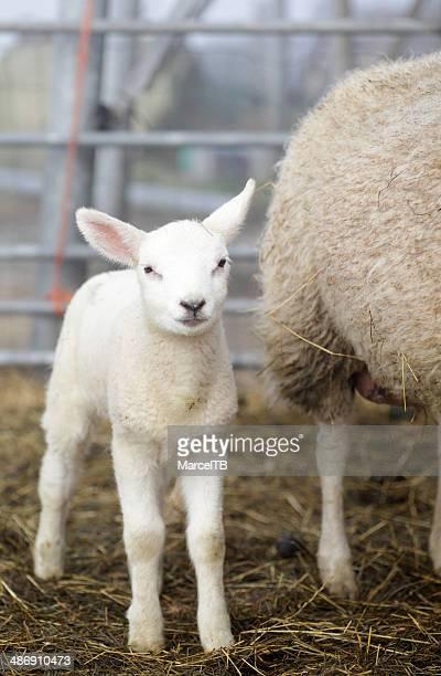 Lamb in spring