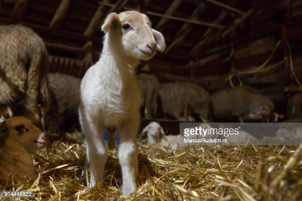 Lamb in the straw