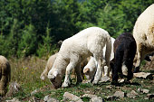 http://www.istockphoto.com/photo/lamb-in-wild-gm826065678-134178325