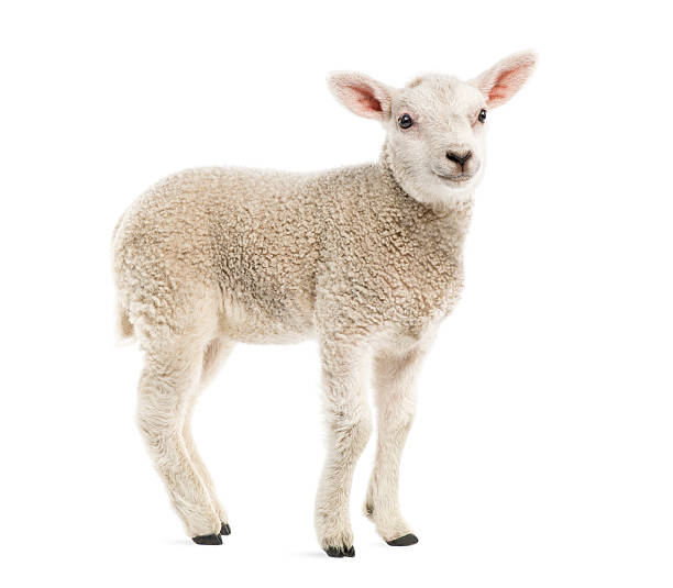 Lamb (8 Weeks Old) Isolated On White Wall Art