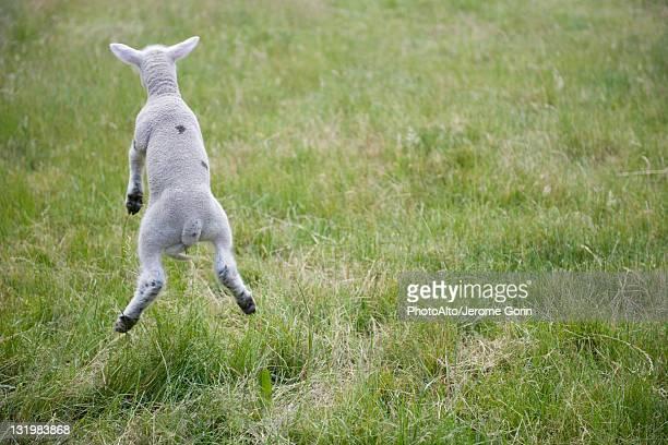 Lamb Jumping Rear View