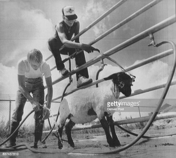 """Lamb Laundering R9ichard Oswalt takes a hose to his Suffolk lamb """"HimNot' as friend Ron Huish holds the lamb from on high where he won't get his feet..."""