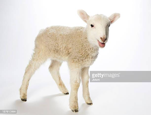 Lamb looking at the camera on a white background
