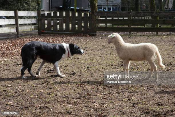 Lamb meets dog