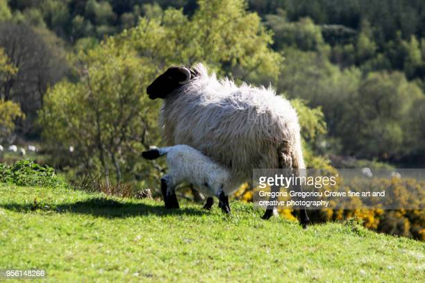 lamb nursing - gregoria gregoriou crowe fine art and creative photography. stock pictures, royalty-free photos & images