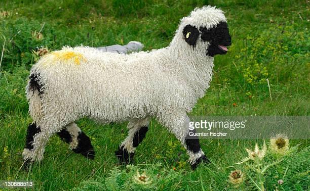Lamb of the Valais Blacknose sheep breed, Valais, Switzerland, Europe
