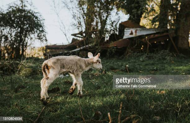 lamb on grass - moving after stock pictures, royalty-free photos & images