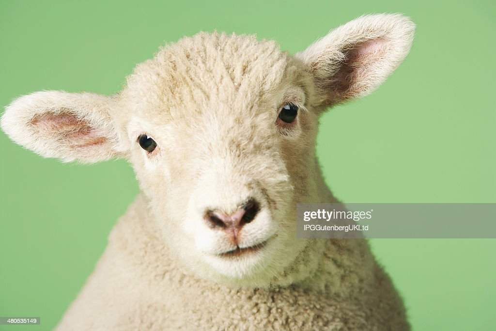Lamb on green background : Stock Photo
