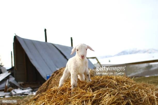 Lamb On Hay At Farm During Winter