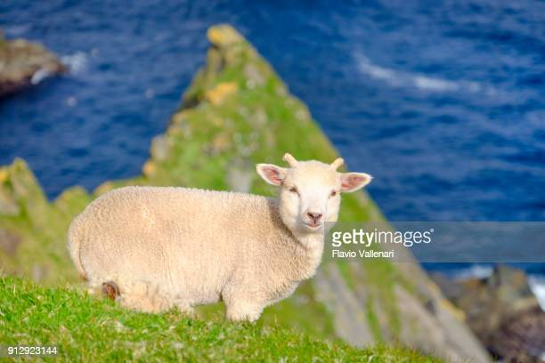 lamb on the cliffs at the hermaness national nature reserve, a dramatic cliff-top setting of unst, shetland islands, scotland. - isole shetland foto e immagini stock