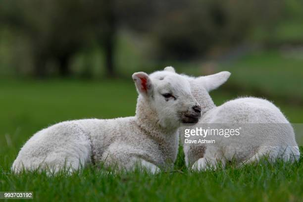 Lamb ovis aries