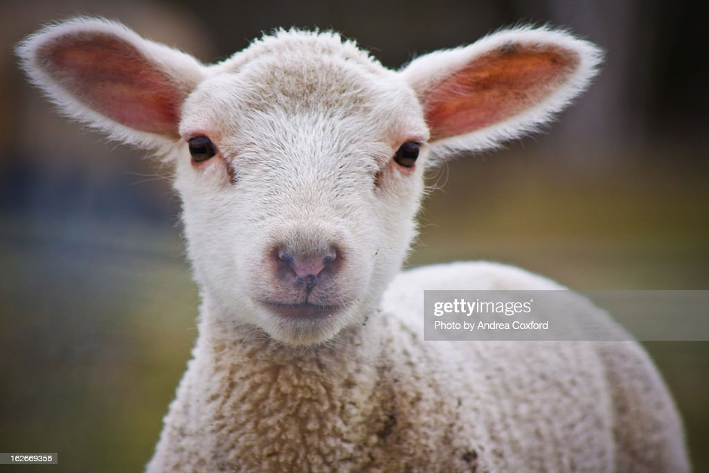 Lamb : Stock Photo