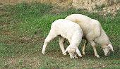 http://www.istockphoto.com/photo/lamb-gm941852252-257414619