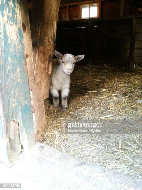 Lamb Standing At Barn